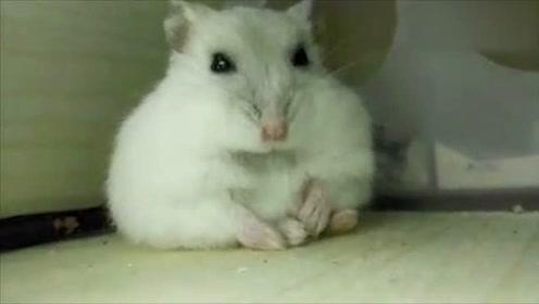 仓鼠:正在修仙的铲屎官瞬间被治愈了