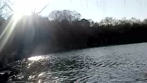 北大未名湖里的鸳鸯鸭子