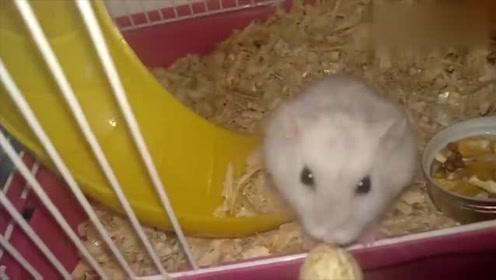 一只啃花生壳的可爱小仓鼠,最喜欢小家伙啃东西的样子了