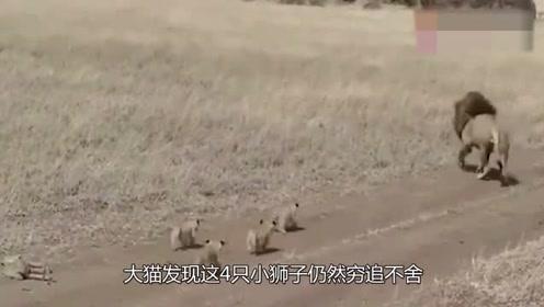 4只小狮子紧跟老爸,雄狮一回头吓跑:我不要带小孩子啊