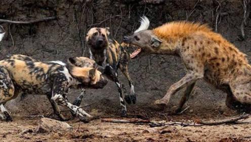 """""""非洲二哥""""遇天敌,被一群野狗围攻,这滋味不好受!"""