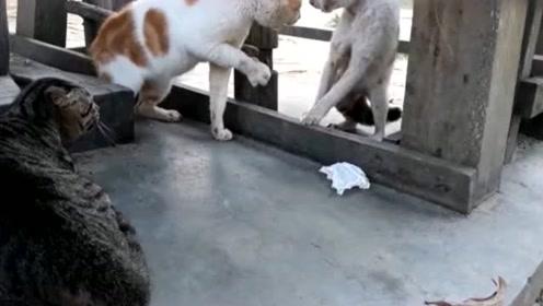 猫咪吵架忍不住想动手,手抬起来又不敢打,继续动口不动手