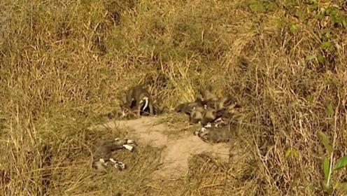 野狗们在草原上休息,它们褪去了凶狠的一面,难得安静下来!