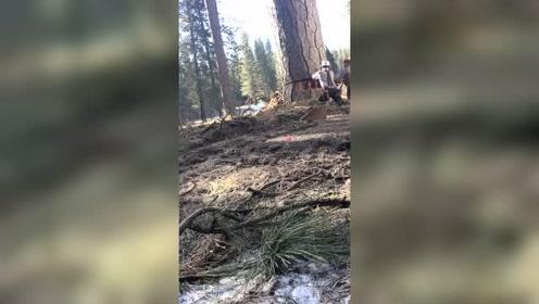 砍树居然要用千斤顶,到底是为什么