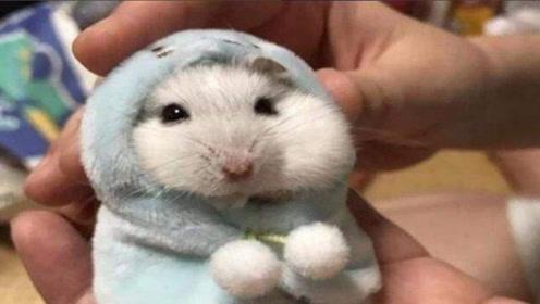 为什么说不要给仓鼠洗澡,洗了会怎样?涨知识了