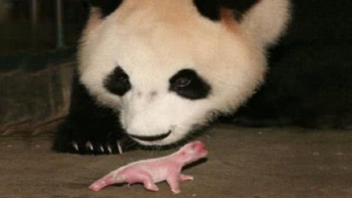 """大熊猫第一次见宝宝,""""初为""""熊母茫然无措,下1秒憋住别笑!"""