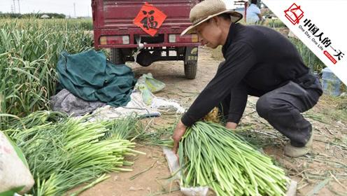 蒜薹丰收价格暴涨3成,蒜农每天累得直不起腰