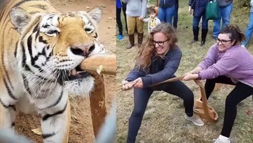 动物园为吸引游客,独创拔河比赛,没想到是两个女性与老虎对比!