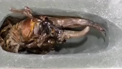 长戟大兜虫,从幼虫成长到成虫过程,感觉好像外星生物