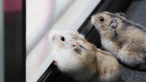 小仓鼠在在浴缸里面舒服的躺着,嘴里还有各种零食吃着!