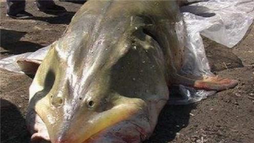 """上古鱼种水中称霸2亿年,如今遭遇""""天敌""""吃货,竟被吃到濒危!"""