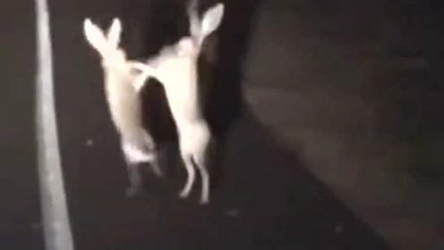 两只兔子深夜马路边大打出手