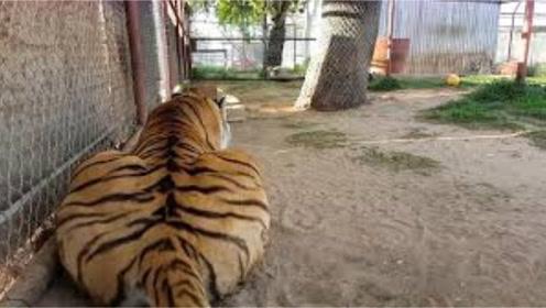 老虎正在睡觉,主人突然叫了它一声,接着老虎的反应搞笑了!