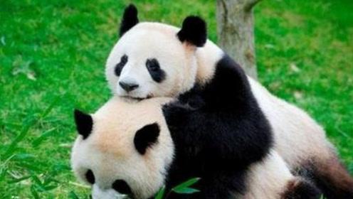 为何大熊猫伤害人类后自己反倒不吃不喝呢?让饲养员来告诉你真相