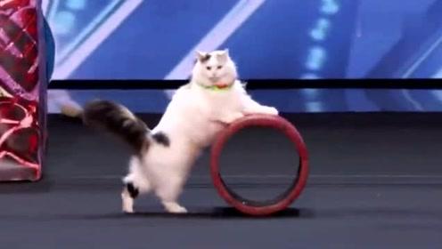 美女带四只猫上真人秀,全是表演高难度动作,这猫也太乖了吧!