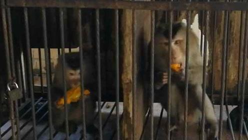 """男子圈养濒危猴6年,""""猴兄猴妹""""被放生又会自己跑回家"""