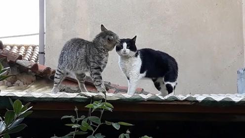 两只猫竟然在房顶打架 真担心它们掉下来!