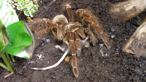 世界最大的蜘蛛胃口大开,吃掉整只老鼠让人谈及色变