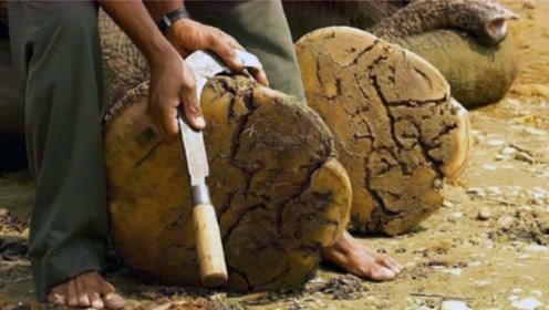 大象也需要修趾甲?月入竟有100000元,修一次花费5个小时