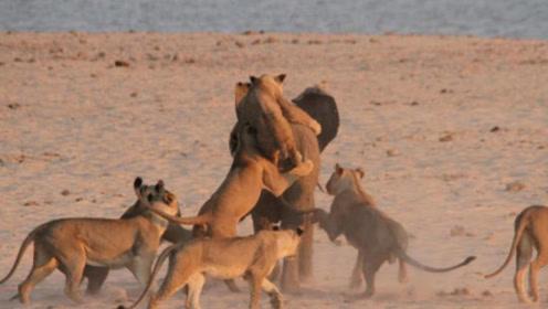 一群狮子群殴大象,狮子特别愤怒,大象却没事儿