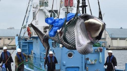 为何日本宁愿罚款60亿,也要大肆捕杀鲸鱼?背后原因让全球愤怒