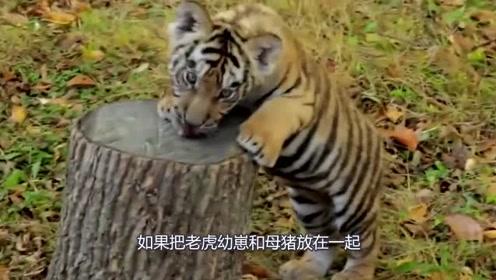 小老虎从小被母猪喂大 老虎长大后看完让你大开眼界