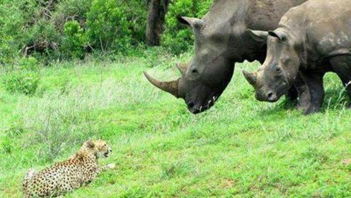 这只猎豹胆子真大,敢正面挑衅犀牛,下一秒就被吓趴了!