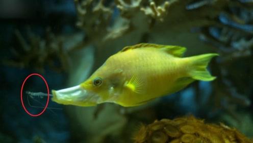 日本伸口鱼,嘴能伸出体外10厘米,程管状结构!