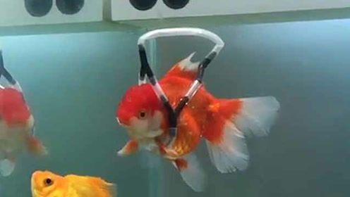 暖心!主人设计水中轮椅助患病金鱼漂浮