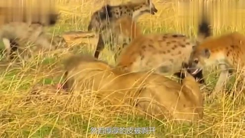 """大象与狮子决一死战,豺狼在附近徘徊,""""捡漏者""""们虎视眈眈"""