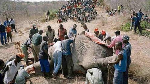 大象列为国家保护动物,为何非洲人还爱吃大象肉?原因很简单!