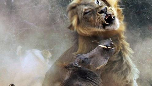 最憋屈的老虎!是怂还是菜,眼前的猪肉都吃不到