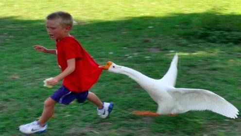公园恶霸大白鹅,多少小孩的噩梦,看完请憋住别笑!