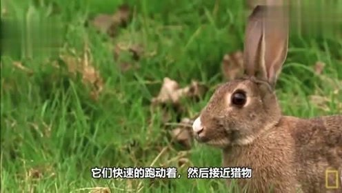 兔子被黄鼠狼追捕,夺命狂奔以逃命,不料结局是这样