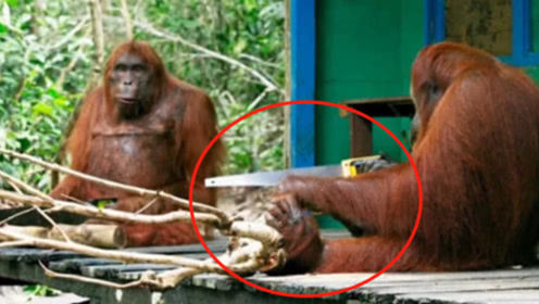 红毛猩猩很聪明,科学家怕拍到珍贵画面,人类都自愧不如