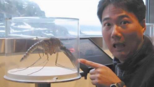 世界上最大的蚊子,不仅不爱吸血,还和蜜蜂抢饭碗?