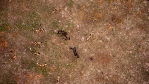 BBC纪录片《猎捕》精彩片断 —— 野犬 VS 牛羚