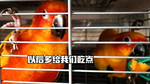 从来没想到鹦鹉也这么爱吃杏,当杏放在笼子里,那是分分钟就没了