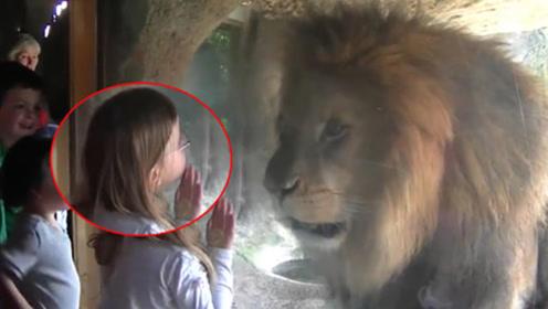 """狮子被小女孩隔着玻璃""""亲了""""一口,狮子恋爱了,忍住别笑!"""