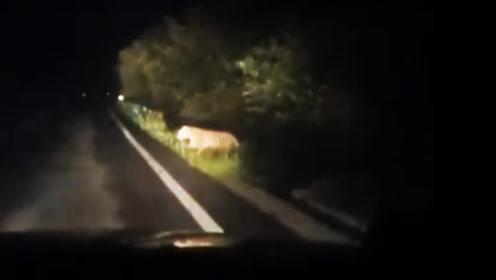 男子乘车路遇东北虎 老虎横穿马路还与市民对视