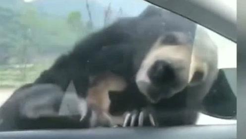 黑熊:大哥大哥摇下窗来 我们聊一下你看我都瘦了