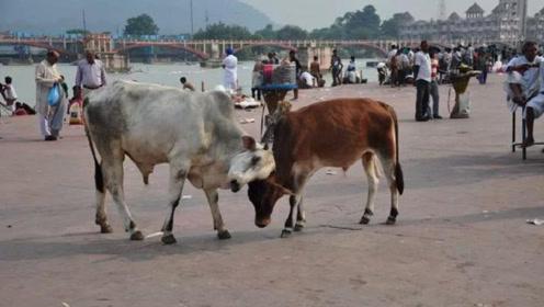 印度人既不吃猪肉,也不吃牛肉,那他们吃什么肉?游客想不明白
