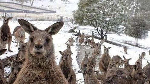 澳大利亚罕见降雪银装素裹 袋鼠喜过冬:冻jio!