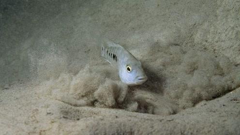 特别顽强的沙漠鱼,生存在沙漠中5万年,如今却濒临灭绝