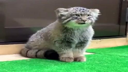 这猫太凶了,一副随时都准备迎接战斗的模样,看它一眼都不行!