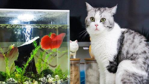 新养的斗鱼到家 猫:劳资把鱼缸给你锤烂!