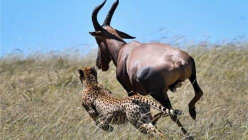 陆地上速度最快的5种动物:草原之王排最后,第一名毋庸置疑!