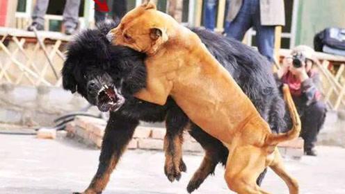 世上最凶猛的狗,杀伤力极强一旦咬住绝不松口,瞬间秒杀藏獒!