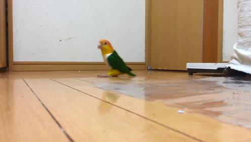 宠主散步没带鹦鹉,气愤的它在家中模仿主人动作,简直太搞笑了