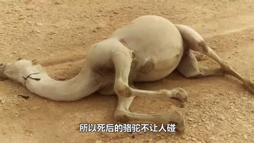 为什么死在沙漠中的骆驼不能碰?真相吓一跳